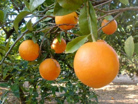 Naranjas en el árbol